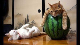 ПОПРОБУЙ НЕ ЗАСМЕЯТЬСЯ - Смешные Приколы с Животными до слез, смешные коты, funny cats #94